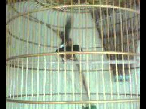 Murai Aceh Jawara Koleksi Liberty Bird Farm.avi