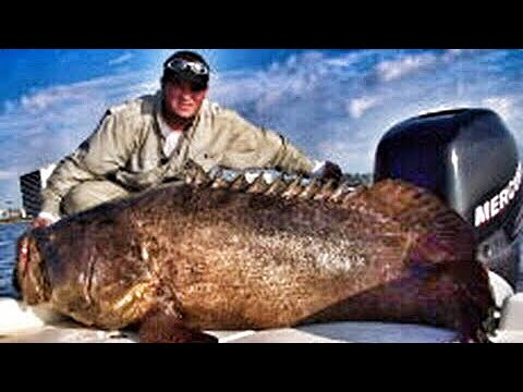 500 Pound Goliath Grouper Sea Bass Jewfish Fish Chew On This Fishing