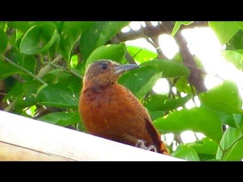 Rufous Woodpecker - Birdwatching Thailand