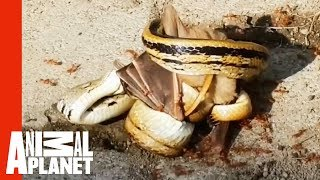 Snake Ambushes Bat While An Army Of Ants Attack   Weird, True & Freaky - ANIMALPLANETTV