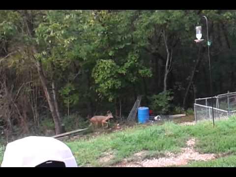 Whitetail bucks/my front yard!