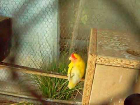 agapornis armando nido