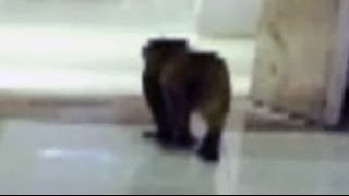 40 men in ape suits to scare monkeys away from parliament - NDTVINDIA