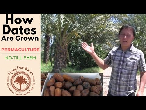 How Dates are Grown on a Permaculture No-Till Date Farm in the Desert