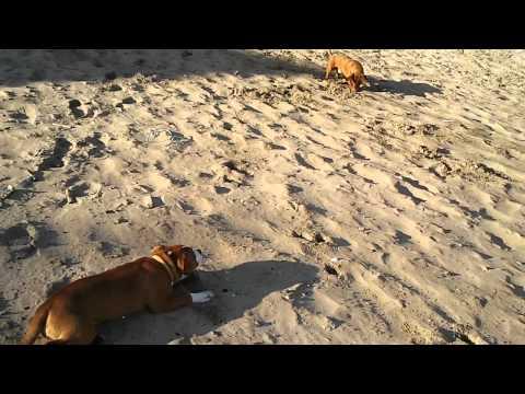 ZUZA: plażowe walki psów :)