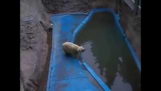 El Oso polar Arturo podría ser trasladado de Mendoza