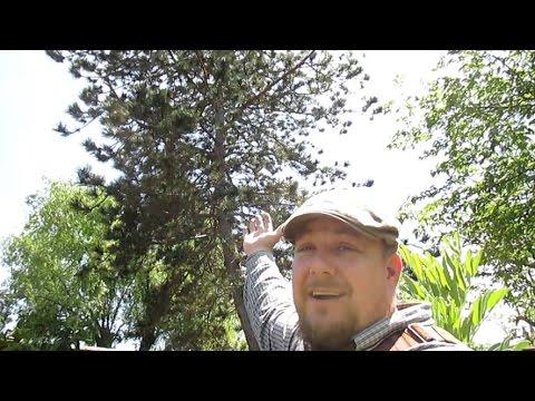 Pine Pollen Fertilizer, A Natural Testosterone Booster & Jiu Jitsu!