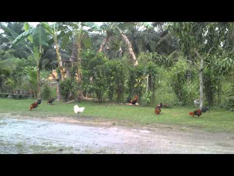 Ayam hutan pikat.pilih2