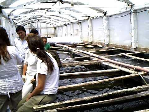 Como criar mojarra tilapia apareamiento y reproduccion 8 for Criar mojarras en casa