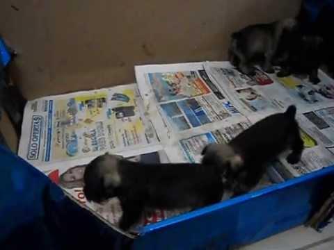 Cachorros Schnauzer miniatura sal pimienta