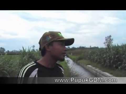 Testimoni Pupuk Organik Cair GDM,  jagung Pak Kanafi