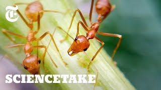 How Ants Avoid Traffic Jams | ScienceTake - THENEWYORKTIMES