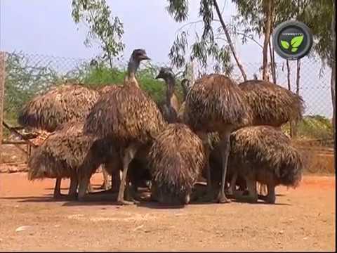Emu Bird Farming - An Introduction