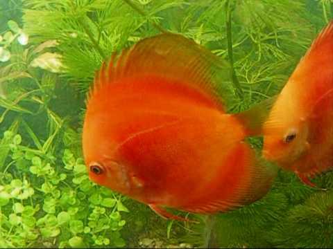 Diferentes variedades de peces discos en 300 litros