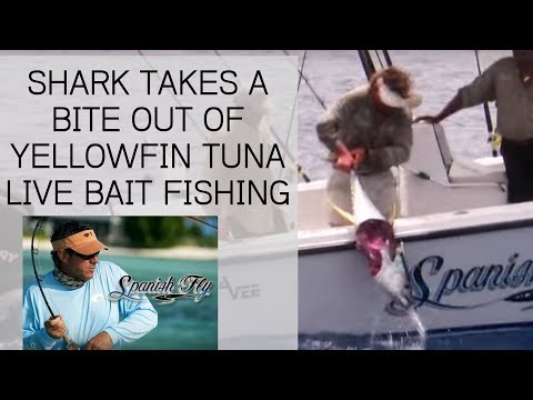 Shark Attacks Yellowfin Tuna while Live Bait Fishing Jose Wejebe Spanish Fly TV