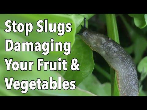 Garden Pests: Stop Slug Damage To Your Fruit & Vegetables