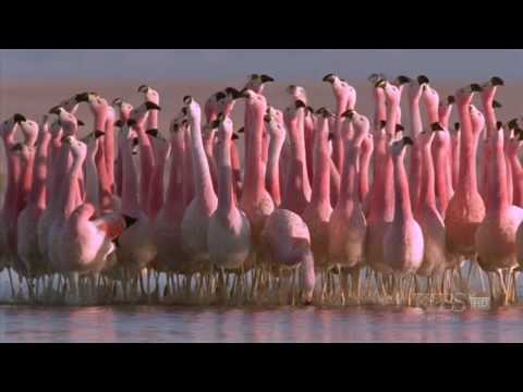 Hilarious Andean flamingo mating dance NATURE Andes The Dragon s Back