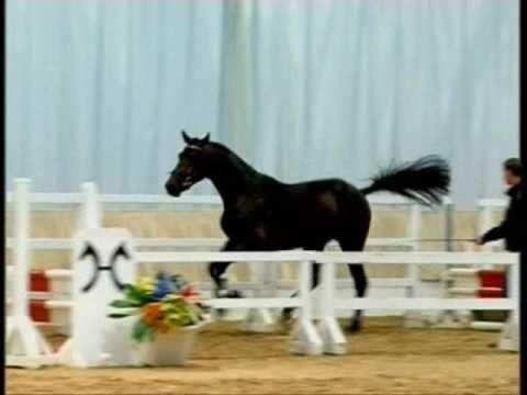 VAN HELSING: Hannover stallion by Valentino x Stakkato, www.equine-evolution.com stallone da monta