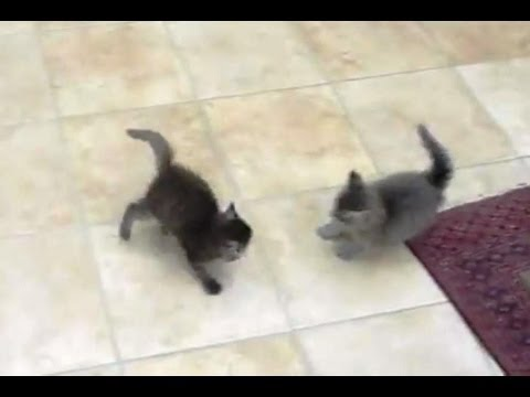 Kitten Fight and Cute Meows