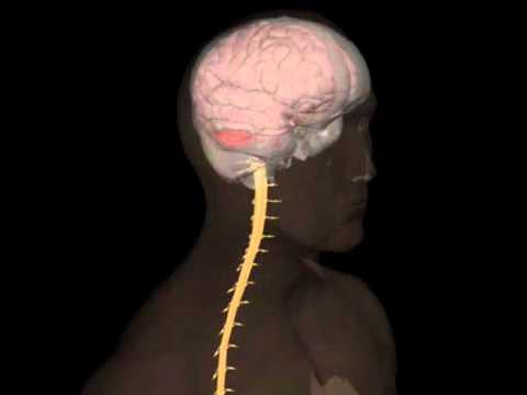 sistema nervoso centrale,  corpo umano,