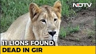 11 Lions Found Dead In Gujarat's Gir Forest - NDTV