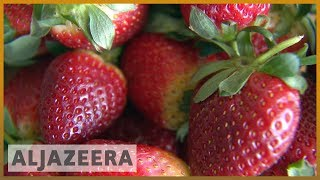 🇦🇺 Australia cracks down after needles found in strawberries | Al Jazeera English - ALJAZEERAENGLISH