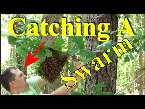 Beekeeping : How To Catch A Swarm - Two Ways To Capture Thousands Of Honey Bees