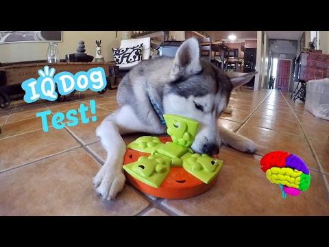 Testing My Husky's Intelligence! - Dog IQ Puzzle Test!