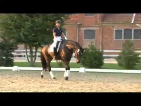 LEMONY'S NICKET: Hannover dressage stallion by Londonderry, www.equine-evolution.com