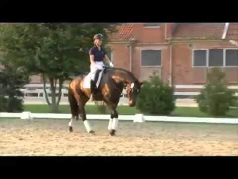 LEMONY'S NICKET: Hannover dressage stallion by Londonderry, www.equine-evolution.com