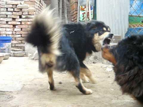 Tibetan Mastiff Vs Pitbull - VidoEmo - Emotional Video Unity