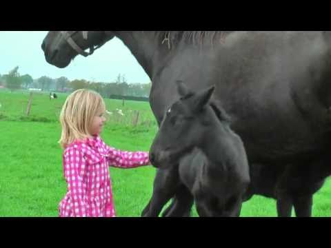 Very Cute Baby Belgian Draft Horse Twins (4 Days Old)