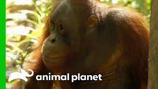 Tensions Rise As Palas Island Orangutans Cause Trouble | Orangutan Island - ANIMALPLANETTV