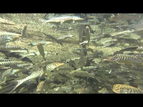 Feeding Tiger Muskies