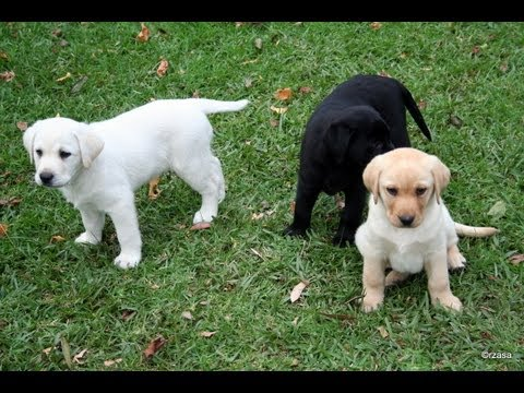 Labrador Puppies Playing Around in Yard - Very Cute!!