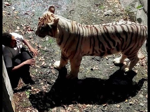 Delhi : White Tiger Attacks 22yr old Student in Zoo and Mauled him to death