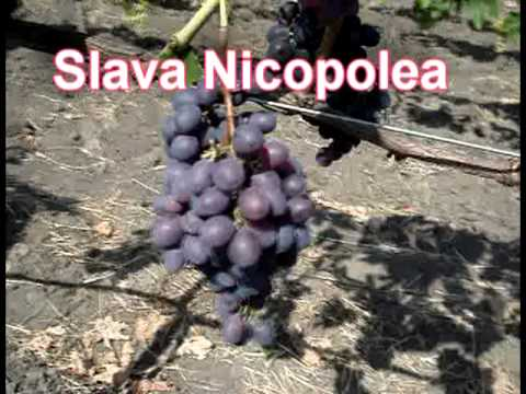 Struguri de masa si butasi,  /Саженцы винограда / table grapes