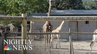 After The Ashes: Saving Safari West (Part 6) | NBC Nightly News - NBCNEWS