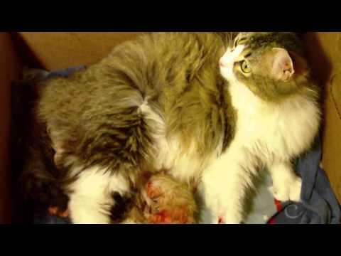 Norwegian  Forest Cat Giving Birth -MAH0105.MP4 ولادة القطط بسة