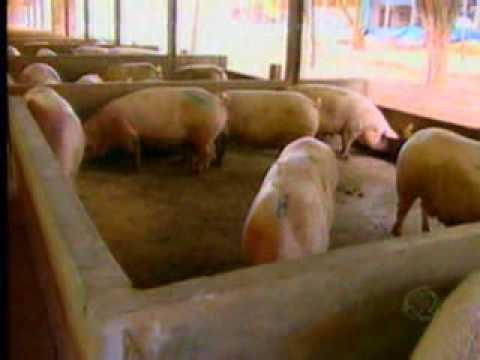 Record Rural  Confira como funciona o processo de criação de suínos em São Gabriel do Oeste