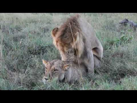 Lion couple mating - 獅子