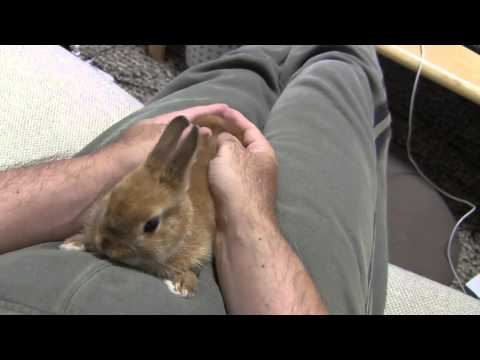 Cute Bunny Rabbit Want to Massage!! Pt.1 Netherland Dwarf