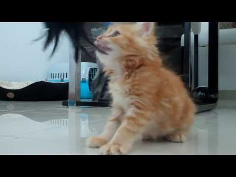 Cute Ginger Kitten AMY From Dubai