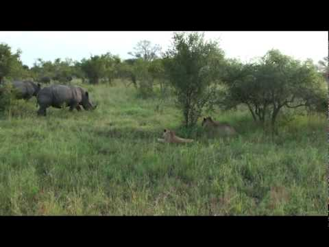 Rhino Vs Lions.avi