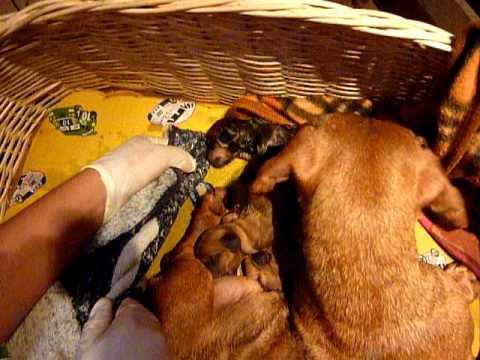 Parto animal perro salchicha en vivo