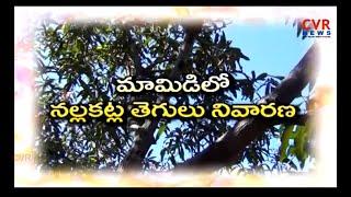 మామిడిలో నల్లకట్ల తెగలు నివారణ : Mango Cultivation | Save Mango Farms from Pests | Raithe Raju | CVR - CVRNEWSOFFICIAL