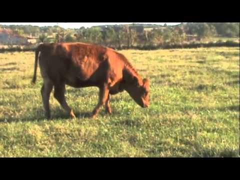 Spencer Cattle Co. - Yearling Gelbvieh/ Balancer Heifer