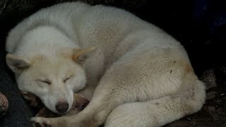 A Greenland Dog Gives Birth in the Arctic Wilderness - ANIMALPLANETTV