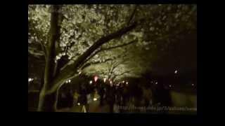 隅田川の桜 2013年