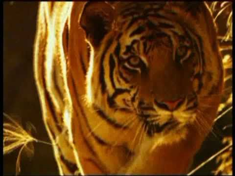 Living with Tigers 0 documentary movie, default video feature image, click play to watch stream online